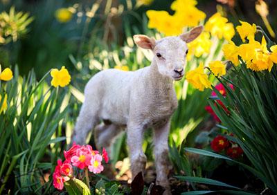 Cute one day old newborn lambs, Bocketts Farm, Surrey - 27th Feb